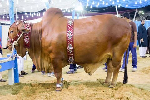 Masha Allah! Beauty In Sakran Cattle Farm 2016