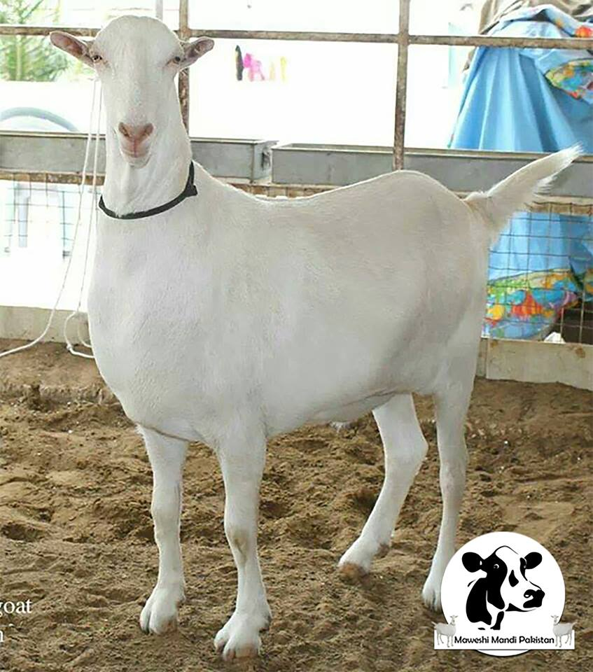 Beautiful White Bakra In Maweshi Mandi 2015