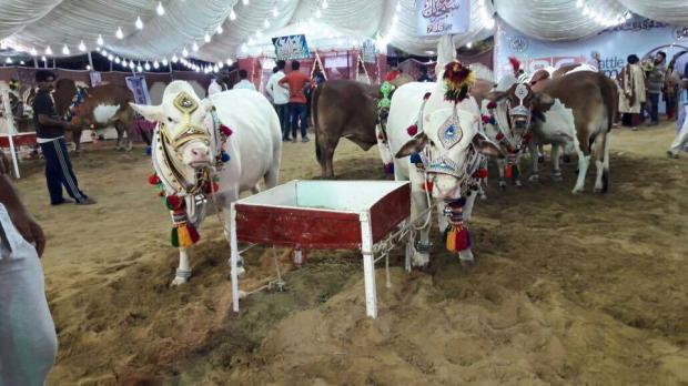 Beautiful White Bulls In 786 Cattle Farm 2016