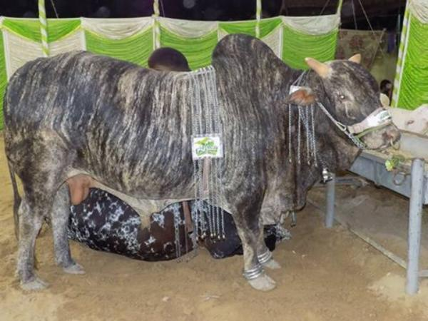 Beautiful & Unique Bull In Afridi Cattle Farm 2016