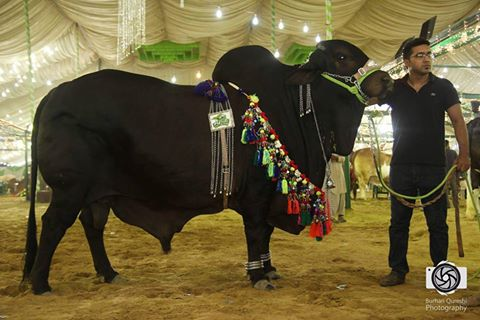 Black Beauty From Afridi Cattle Farm 2016