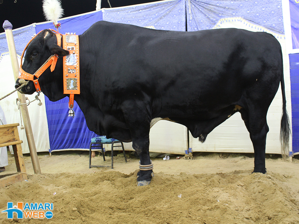 Black Bull From Dilpasand Cattle Farm Cow Mandi