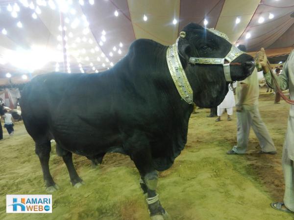 Black Cow - Bakra Eid Images & Photos