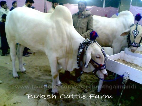 Buksh Cattle Farm