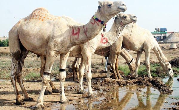 Camel Qurbani