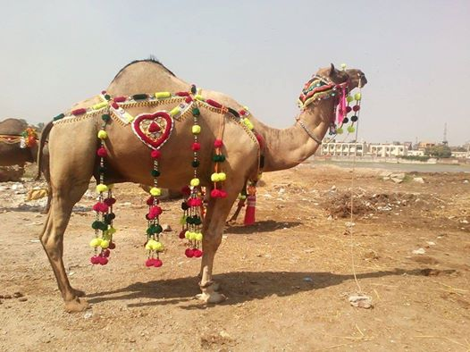 Camel Qurbani 2016