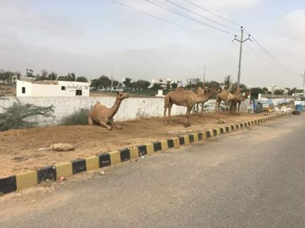 Camels At Sohrab Goth Mandi Super Highway Karachi 2016
