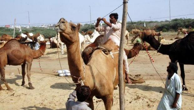 Camels at Sohrab Goth Mandi Super Highway Karachi