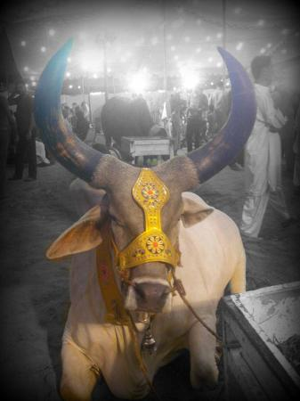 Chand Bull Picture At Cow Mandi 2014