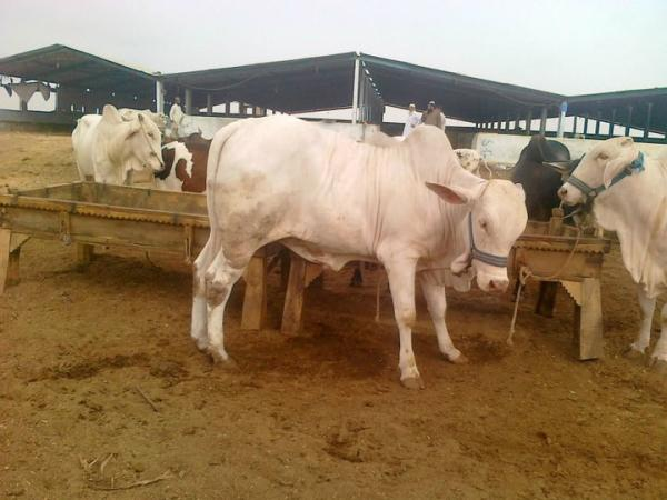 Pakistan Bakra Cow Mandi Pictures New Pictures Of Eid Ul Adha Price In