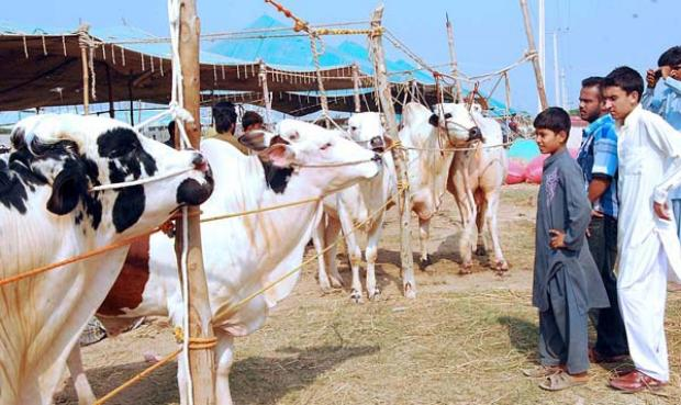 Cow Market in Islamabad