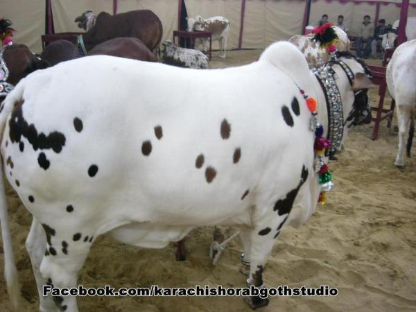 Cow with Black Spots