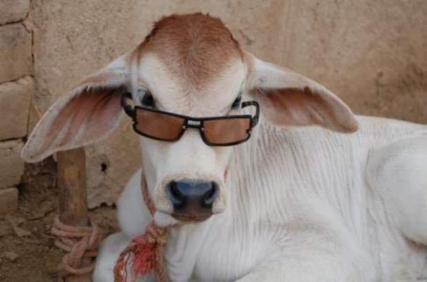 Cow with Sun Glasses