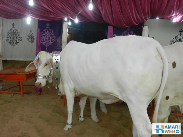 Cute White Cow