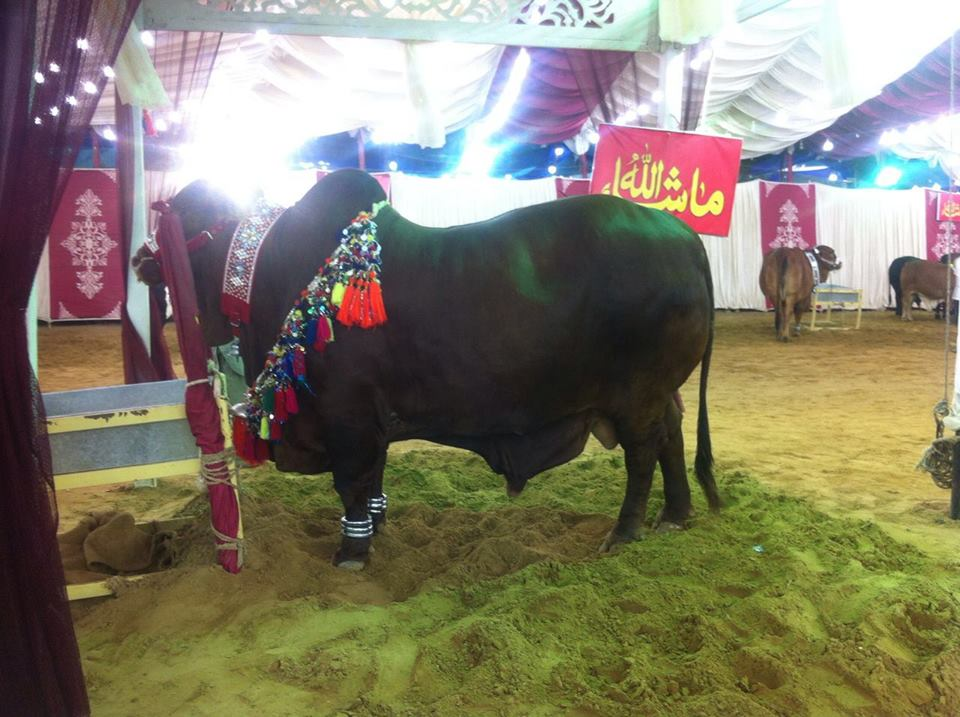 Heaviest Bull In Surti Cattle Farm 2016