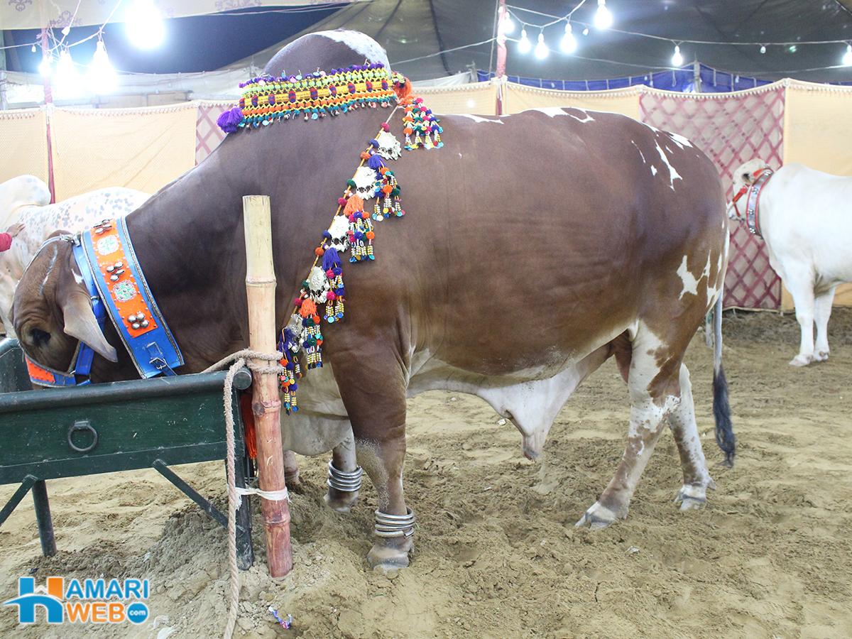 Heavy Bull in Cow Mandi
