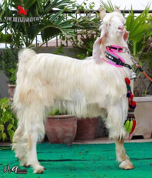Long Haired Goat for Qurbani