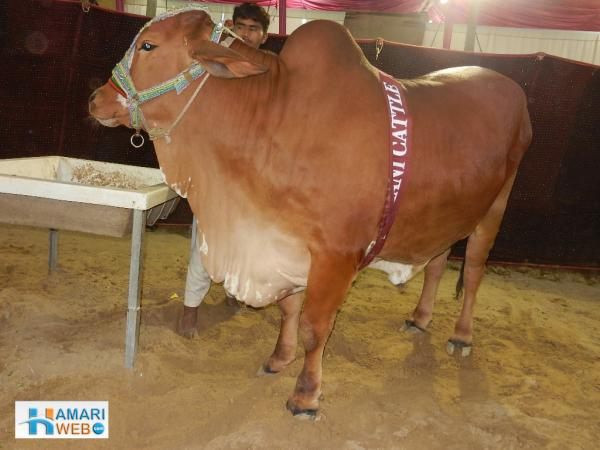 Mithani Cattle Brown Cow