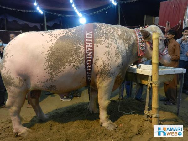 Mithani Cattle Cow