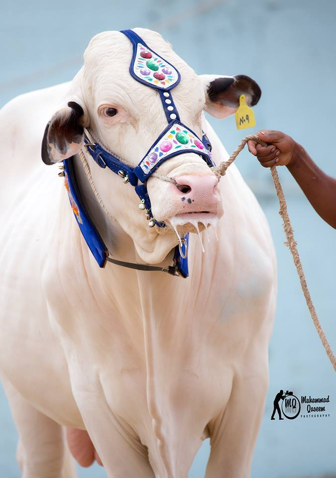 Most Beautiful Cow In Surmawala Cattle Farm 2016