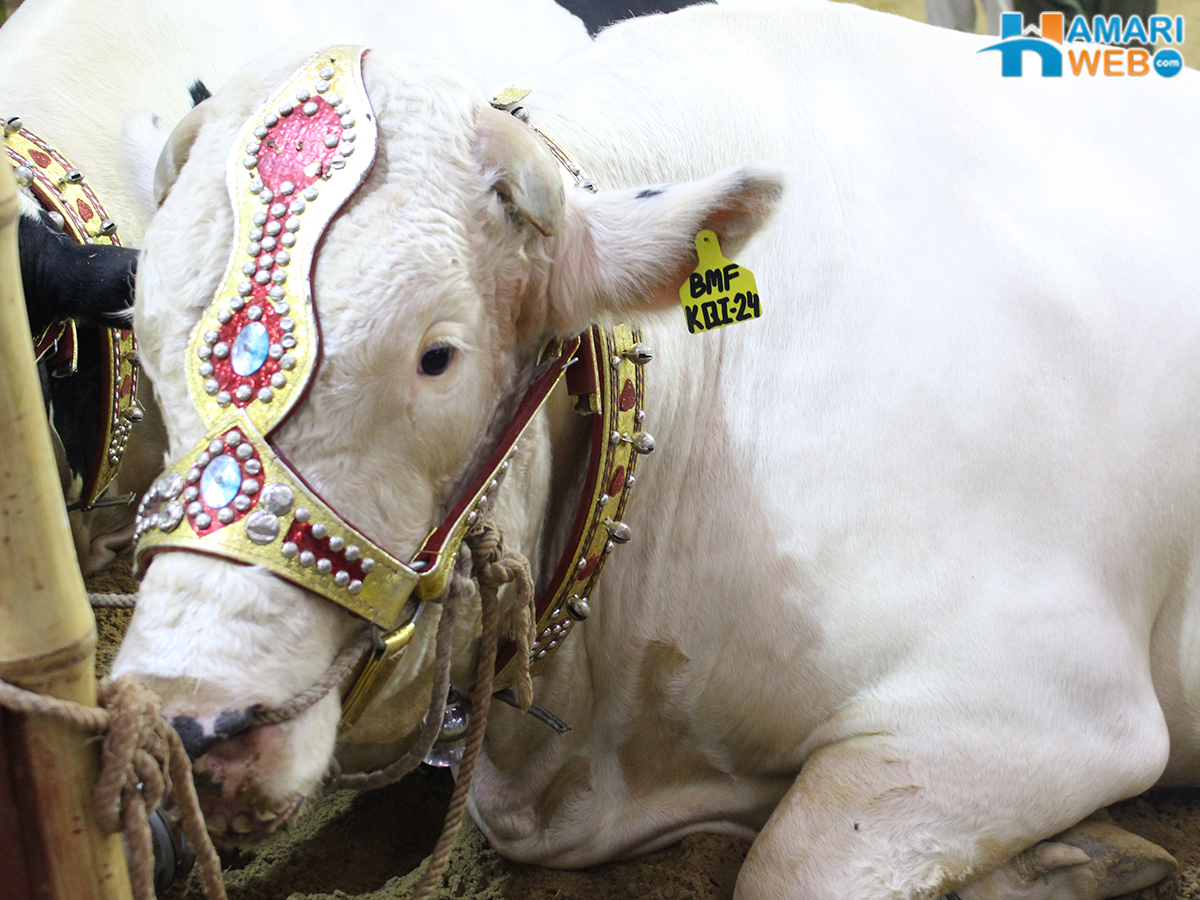 White Beautiful Bull in Cattle Farm 2015