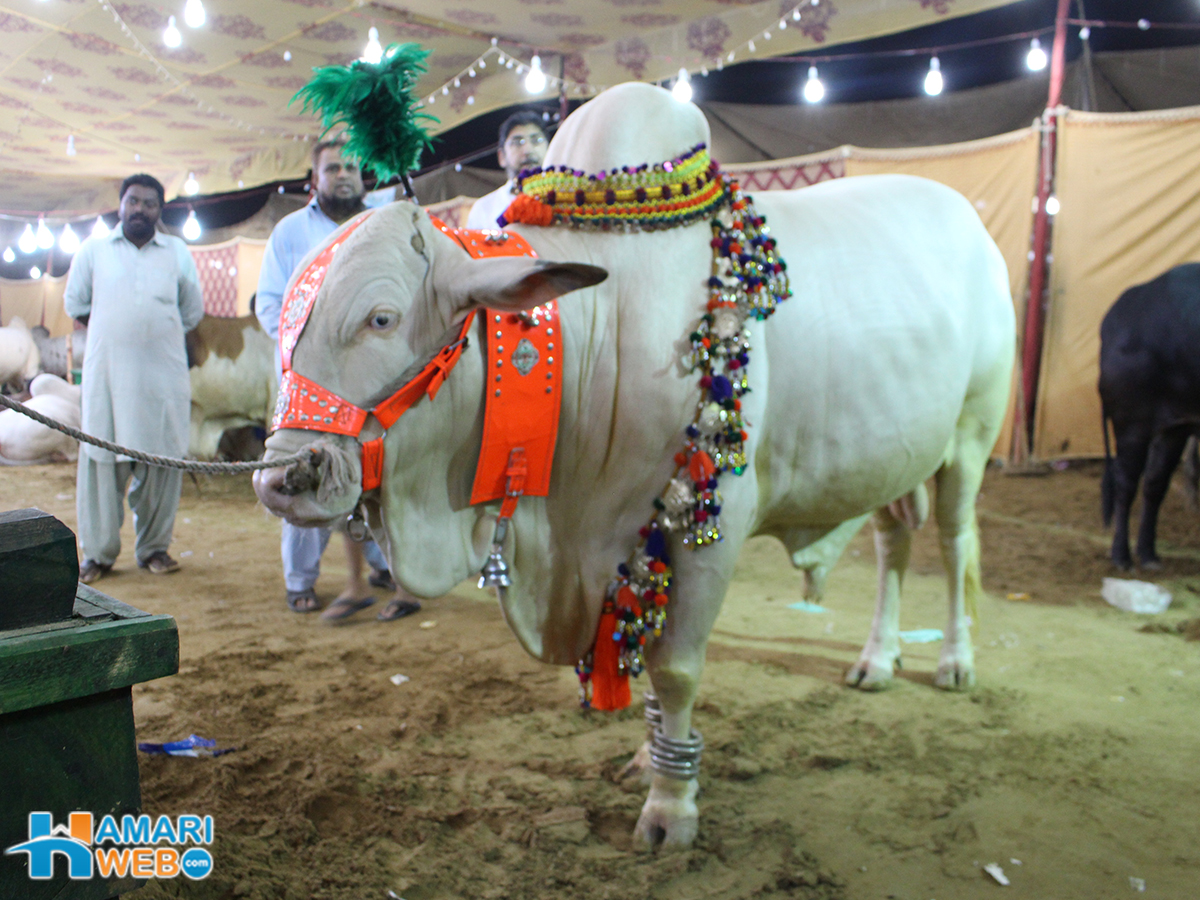 White Beauty From Sohrab Goth Cow Mandi 2015 Cattle Farm