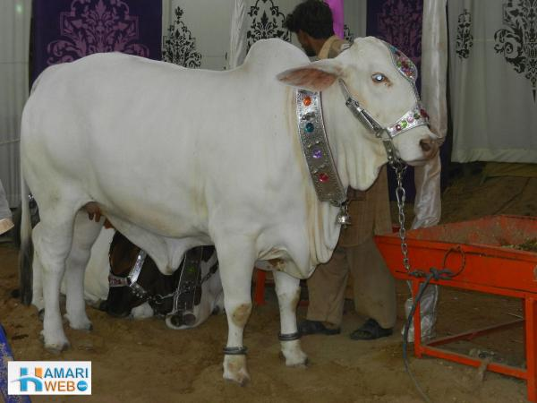 White Cow in Mandi