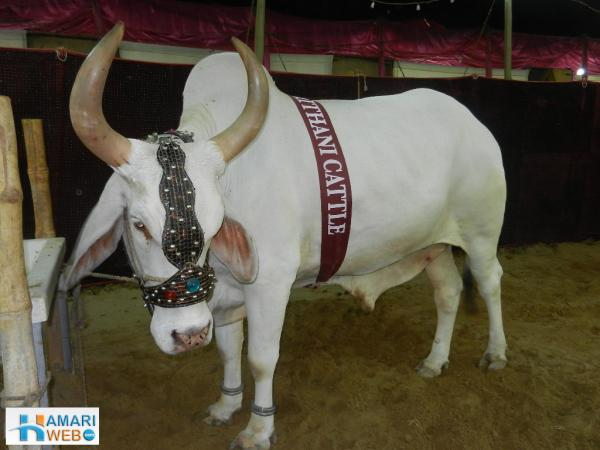 White Cow with Huge Horns