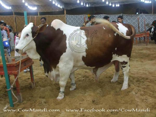 White & Brown Cow