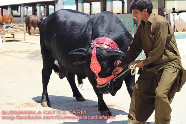 Surmawala Cattle Farm