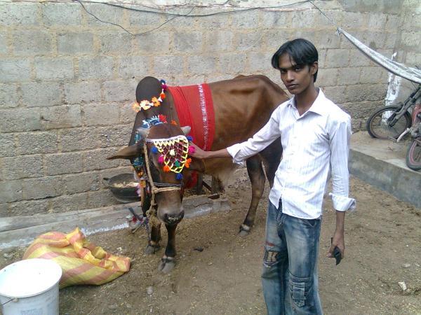 kamran ali cow