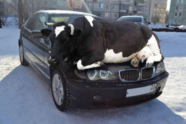BMW BULL..... lolzzz