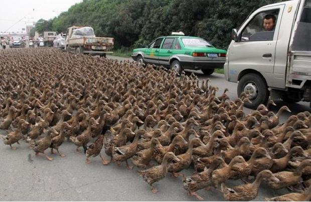 Ducks On Road In China
