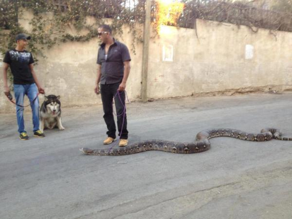 Just Walking With My Pet Snake