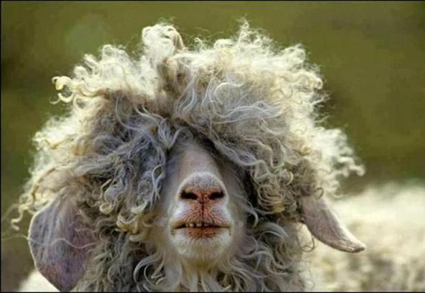 Malinga's Sheep Found..