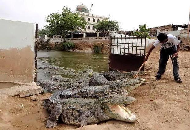 Crocodiles Of Manghopir, Karachi