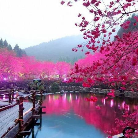 Cherry Blossom Lake – Sakura, Japan