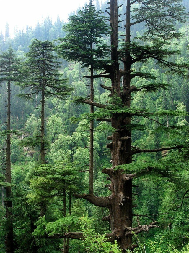 Forests in Northern Pakistan