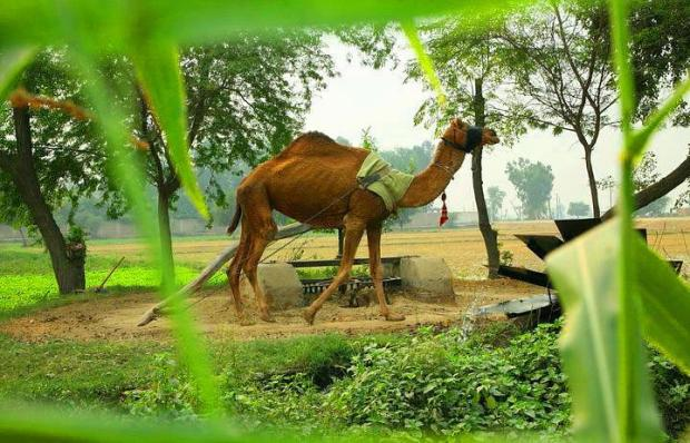 Camel in Pakistani Village