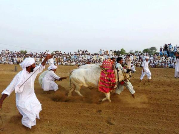 Famous Bull Race in Pakistan